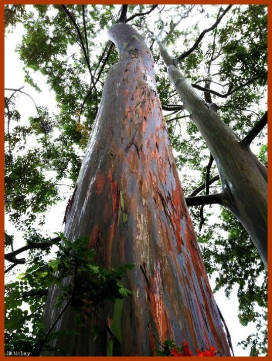 arainbow eucalyptus2