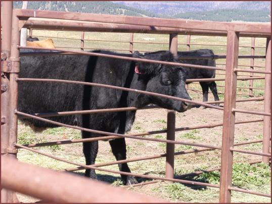 Cows (Valles Caldera)