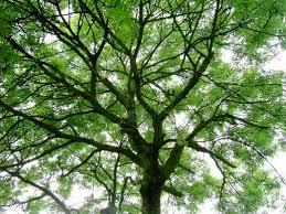 springtrees4
